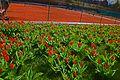 Tulpaner i blom på KLTK.jpg