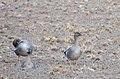 Tundrasädgås Tundra Bean Goose (15769182002).jpg