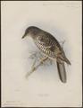 Turdus varius - 1871-1896 - Print - Iconographia Zoologica - Special Collections University of Amsterdam - UBA01 IZ16300231.tif