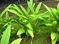 Turmeric plant.jpg