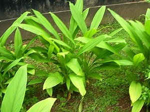 English: Turmeric plant found in Dakshina Kann...