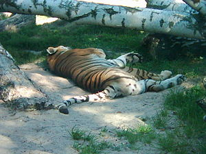 English: It is a tiger in the zoo in Liberec. ...