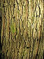 Ulmus lacinata bark, 18-year old tree.jpg