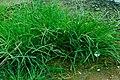 Unidentified Poaceae 08845.jpg