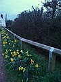 Uplowman , Daffodils and Fence - geograph.org.uk - 1800993.jpg