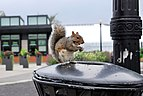 Urban wildlife - squirrel.jpg