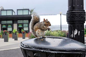 Urban wildlife - Urban wildlife: a squirrel in Montreal scavenging for food in a garbage can