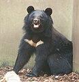 Ursus t. japonicus Ueno Zoo.jpg