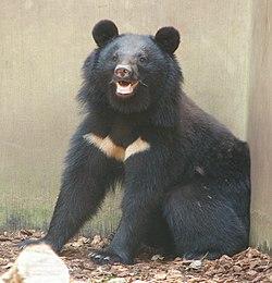 Для чего нужна медвежья желчь