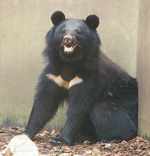 Japanese black bear subspecies of mammal