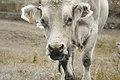 Vaca (8206836070).jpg
