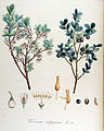 Vaccinium uliginosum — Flora Batava — Volume v14.jpg