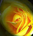 Valentine Rose (2262456571).jpg