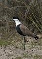 Vanellus spinosus - Spur-winged Lapwing in Tuzla 02.jpg