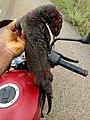 Varan tué à Pobé.jpg