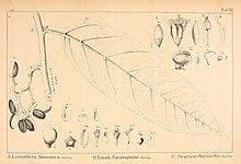 Vellosia (15907627986).jpg