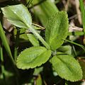Veronica nipponica (leaf).JPG