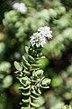 Veronica pinguifolia in Christchurch Botanic Gardens 02.jpg