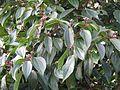 Viburnum cinnamomifolium - Flickr - peganum.jpg