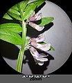 Vicia sepium sl15.jpg