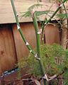 Vicious asparagus 2.jpg