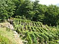 Vigne vicino a Loreto - panoramio.jpg
