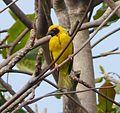 Village Weaver Ploceus cucullatus, male, feral, Mauritius 3.jpg