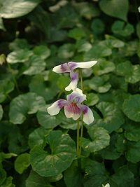 Viola hedercea01.jpg