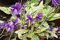 Viola mandshurica Fuji Dawn 0zz.jpg
