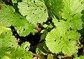 Viola striata 2zz.jpg