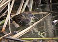 Virginia Rail at Cokeville Meadows NWR (20822068393).jpg