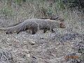 Viverrine (Mongoose).jpg