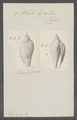 Voluta lyra - - Print - Iconographia Zoologica - Special Collections University of Amsterdam - UBAINV0274 087 04 0044.tif