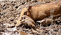 Warthogs (Phacochoerus africanus) female with piglets ... (45299166955).jpg