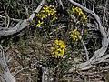 Washoe wallflower, Erysimum capitatum var. washoense.jpg