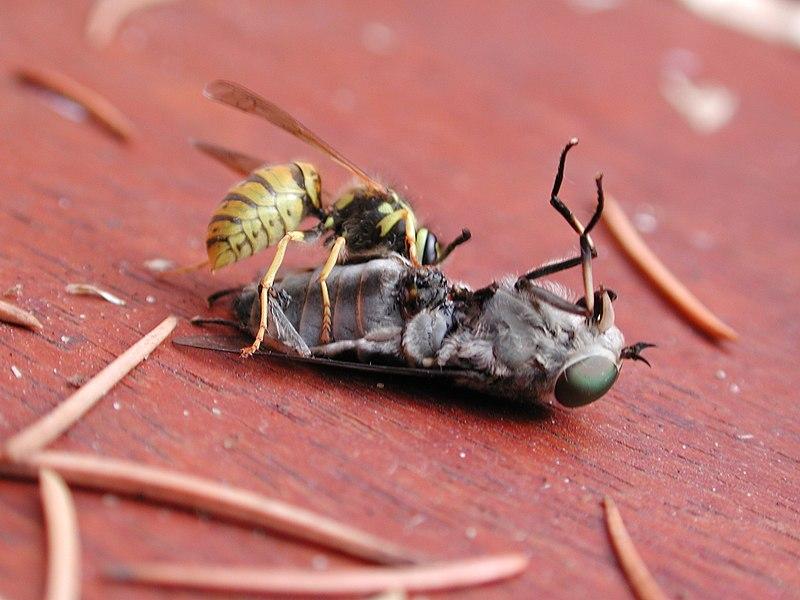 File:Wasp-vespula-vulgaris-vs-horsefly-tabanus-bromius 4v4.jpg