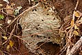 Wasps Nest - RSPB Sandy (6294533070).jpg