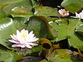 Water Lily (6127422160).jpg