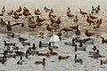 Water birds in winter.jpg