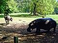 Waterbuck, Buffalo and Hippopotamus friends msa hallerp.jpg