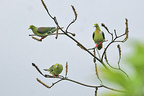 Description de l'image Wedge-tailed Green Pigeon.jpg.