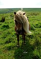 Welsh wild pony - geograph.org.uk - 411170.jpg