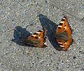 Wernigerode Schmetterlinge 1.jpg