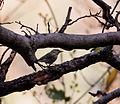 Western Crowned Warbler.jpg