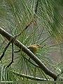 Western Crowned Warbler (Phylloscopus occipitalis) (22921260095).jpg