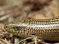 Western Three-toed Skink (Chalcides striatus) shedding eye cap (14512312744).jpg