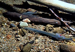 Western brook lamprey (Lampetra richardson) (9258472242).jpg