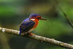 White-bellied Kingfisher - Ghana S4E2155.jpg