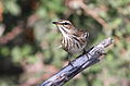 White-browed scrub robin, Cercotrichas leucophrys at Mapungubwe National Park, Limpopo, South Africa (18003611151).jpg