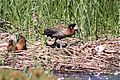 White-faced Whistling-Duck (4303093880).jpg